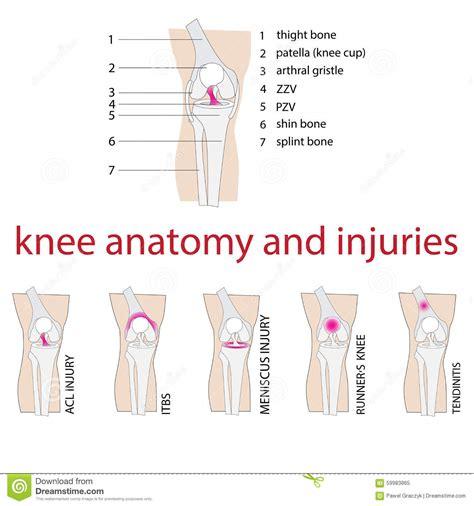 knee anatomy stock vector image 59983865