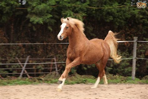 Section B Pony For Sale by Section B Breed Information Buying Advice