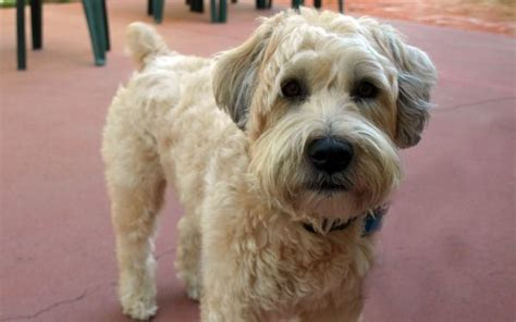wheaten terrier cuts wheaten terrier haircut styles wheaten terrier haircut