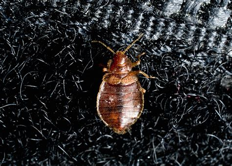 How To Get Rid Of Bedbugs In The Apartment Deduce Bed