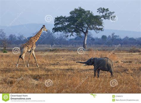 imágenes de jirafas y elefantes elefante y jirafa fotos de archivo imagen 27903073