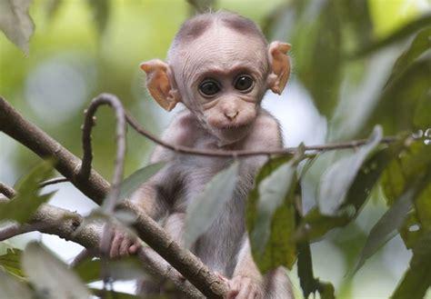 toque macaque the week uk