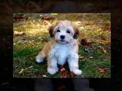 how to potty a havanese puppy everything you need to about havanese dogs behaviours characteristics and more