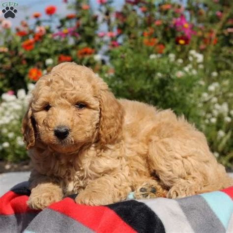 mini labradoodles for sale in pa glenda labradoodle miniature puppy for sale in pennsylvania