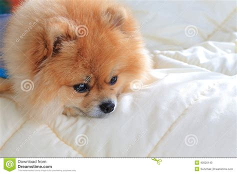 pomeranian wearing clothes pomeranian grooming wear clothes on bed a stock photo image 40525143