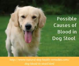 Blood In Dogs Stools by Blood In Stool