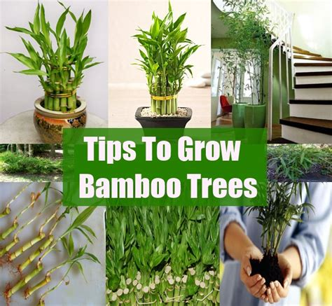 how to grow bamboo diycozyworld home improvement and garden tips