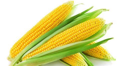 Harga Jagung Pakan Ternak Per Kg gpmt bulog siap beli 445 500 ton jagung impor untuk pakan
