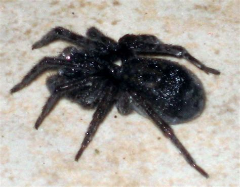 black house spiders spiders at spiderzrule the best site in the world about spiders redbacks huntsmen