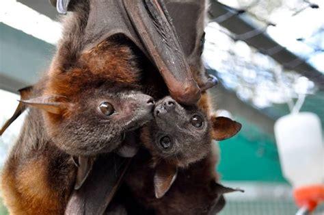tolga bat hospital  australian sanctuary  offers