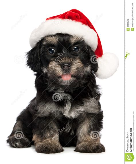 my puppy wont eat but will drink water happy sitting bichon havanese puppy in hat to breeds picture