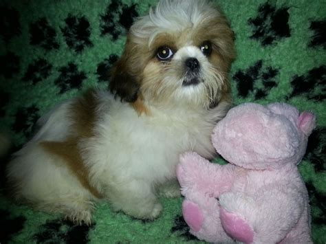 white and gold shih tzu k c reg gold and white lancing west sussex pets4homes