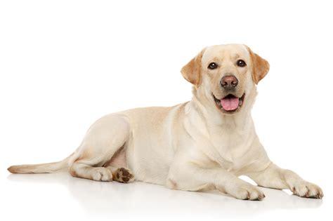 tutte le di il labrador o labrador retriever tutte le razze di cani