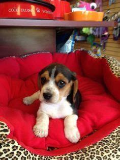 miniature beagle puppies for sale in florida 1000 images about puppies boca raton on puppy store puppies for sale and