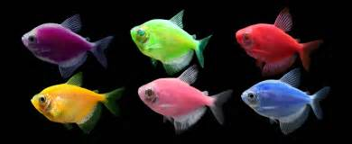 glofish colors glofish 174 experience the glo 174