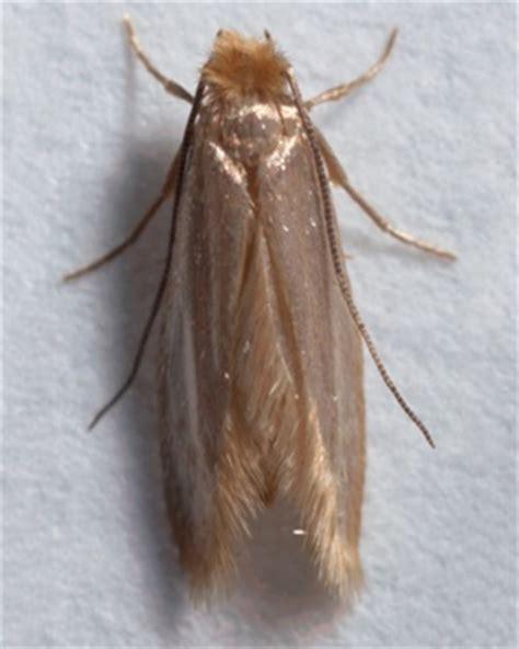 clothes moth carpet moth