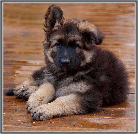 shiloh shepherd puppies shiloh shepherd pup awww iii