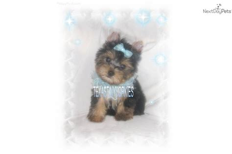 yorkie carriers terrier yorkie puppy for sale near abilene b5b0f73b ecd1