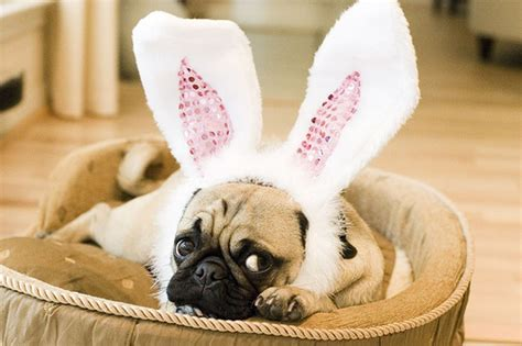 easter pug pictures easter pug in the basket photo and wallpaper beautiful easter pug in the basket pictures