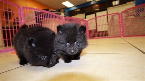 black and pomeranian puppies for sale handsome teacup black pomeranian puppies for sale near atlanta at puppies