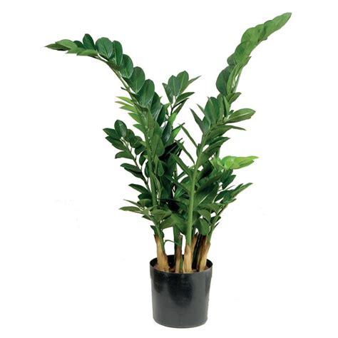 pianta da interni zamia zamioculcas zamiifolia zamioculcas zamioculcas