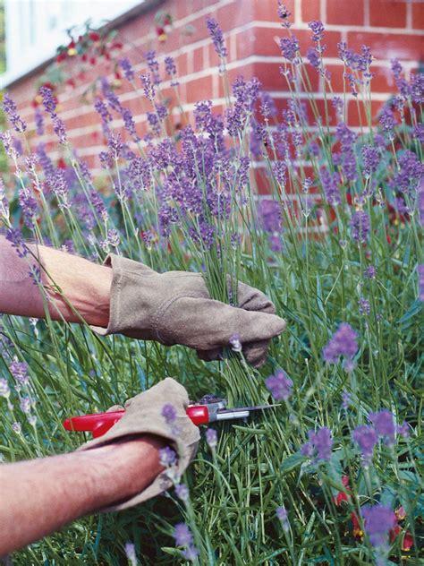 pruning lavender plants hgtv