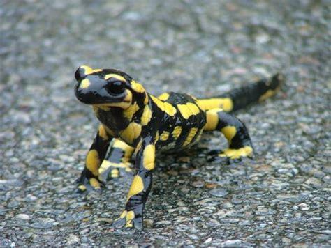 la salamandra fauna en el ojo del buitre salamandra salamandra salamandra