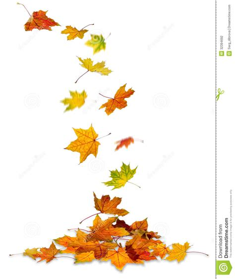 Maple Leaves Falling Stock Photo Image Of Background 32394692 Fall Leaves On White Background