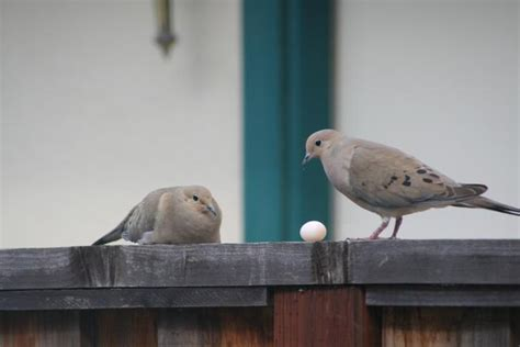 wat doesa brid dove look like mourning doves and humans play waiting nest