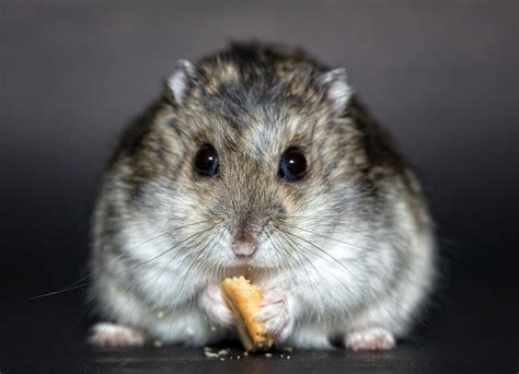 criceti alimentazione cosa mangiano i criceti ecco la loro alimentazione dogalize