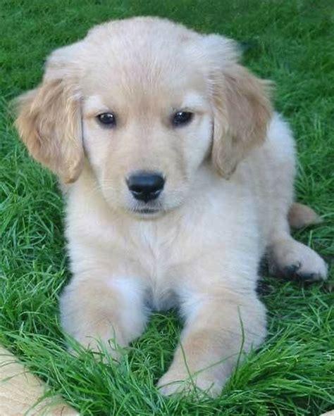 golden retriever puppy tips best 25 retriever puppies ideas on golden retriever puppies retriever