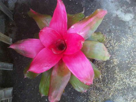 Tanaman Hias Bunga Anthurium Big tanaman bromelia jelly bibitbunga