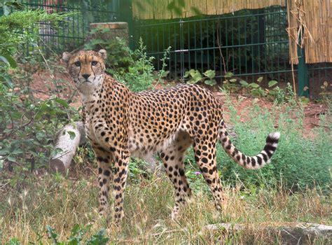 south african cheetah simple english wikipedia the free acinonyx jubatus soemmeringii wikispecies