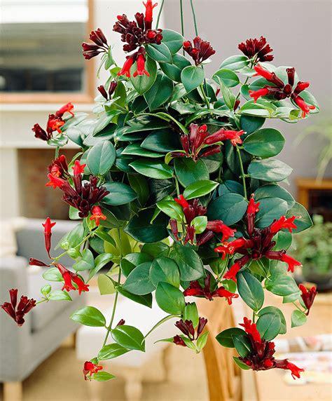 buy house plants  lipstick hanging plant bella donna