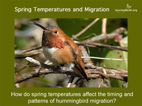 hummingbird migration spring temperatures and migration