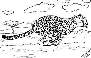 cheetah color cheetah family coloring pages coloring