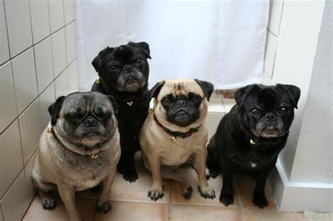 central coast pug rescue available pugs the adventures of ramona pug series