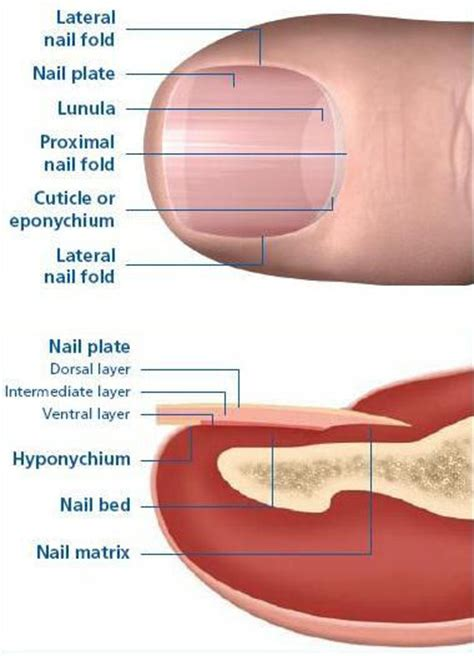 nail bed anatomy natural nail diagram natural free engine image for user manual download
