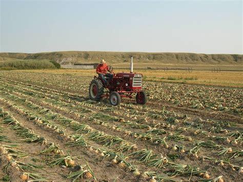 Space Saving Ideas Farm Glance Busy Bea S Onion Production In A Nutshell
