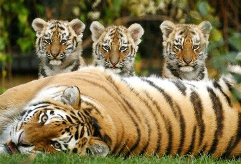 pictured   siberian tiger cubs   ready  rule  wilds  kent daily