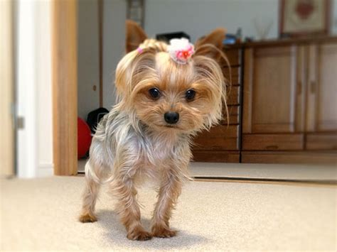 yorkie poo haircut yorkies dressed up pictures cute momo 25 marvelous