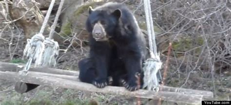 bear swing bear on a swing video