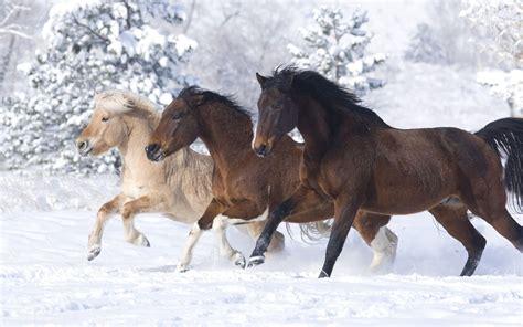 beautiful horses   colors running  snow