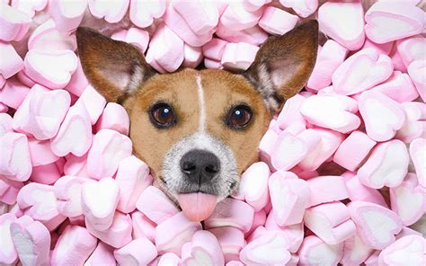 marshmello dog video can dogs eat marshmallows a dog food safety guide