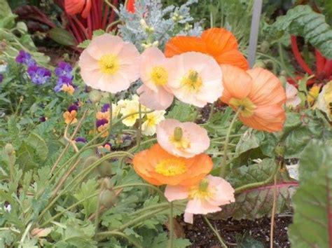 poppy flower growing jpg