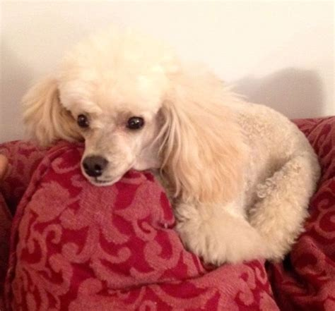 1000 images about doggy doos on pinterest poodles shih 1000 images about dogs on pinterest poodles puppys and