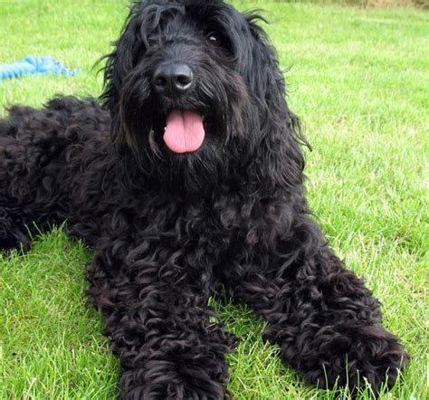 labradoodles puppies for sale perth lilly s pups tora s labradoodles