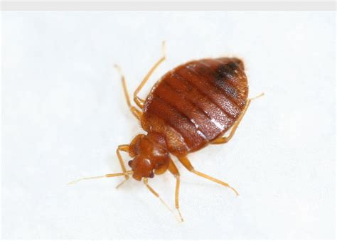 can bed bugs carry diseases dealing with bedbugs while traveling online pest control