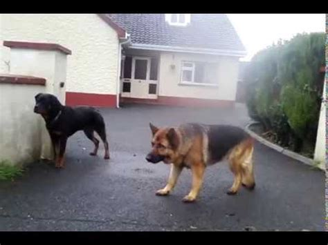 rottweiler vs german shepherd real fight rottweiler vs german shepherd fight real fight mp3 mp4 hd and