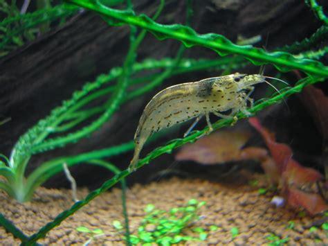 Udang Hias N Pemakan Algae Cherry aquascape yamato shrimp